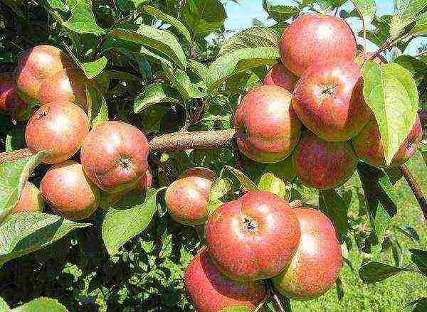 Кустовая яблоня кроха: описание, фото