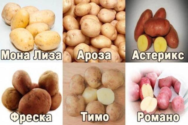 Премиальный европейский картофель астерикс: описание сорта, фото, характеристика