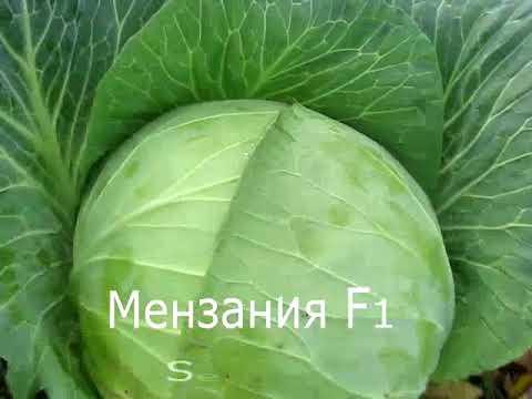 Характеристика и описание сорта капусты зимовка: фото, отзывы и особенности агротехники