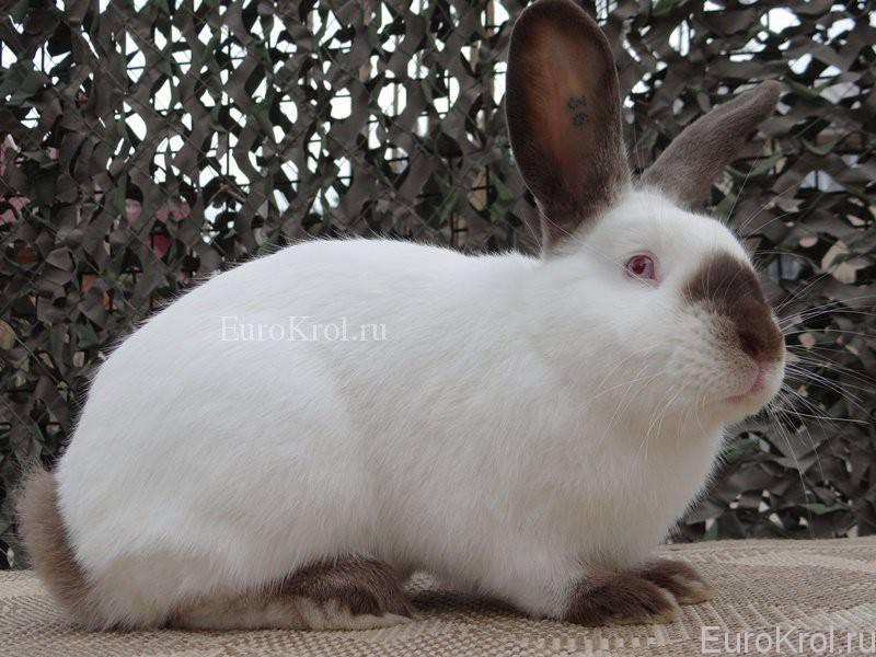 Калифорнийские кролики: все о лучшей мясной породе