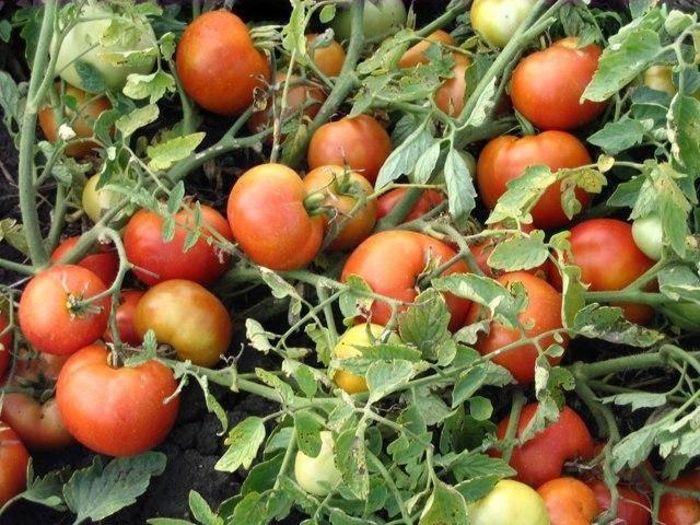 Теплолюбивые сорта помидоров краснодарский край: 4 популярных вида