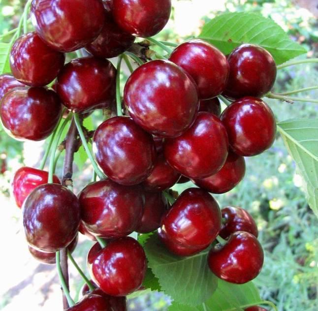 Характеристики и описание черешни сорта регина, выращивание и уход