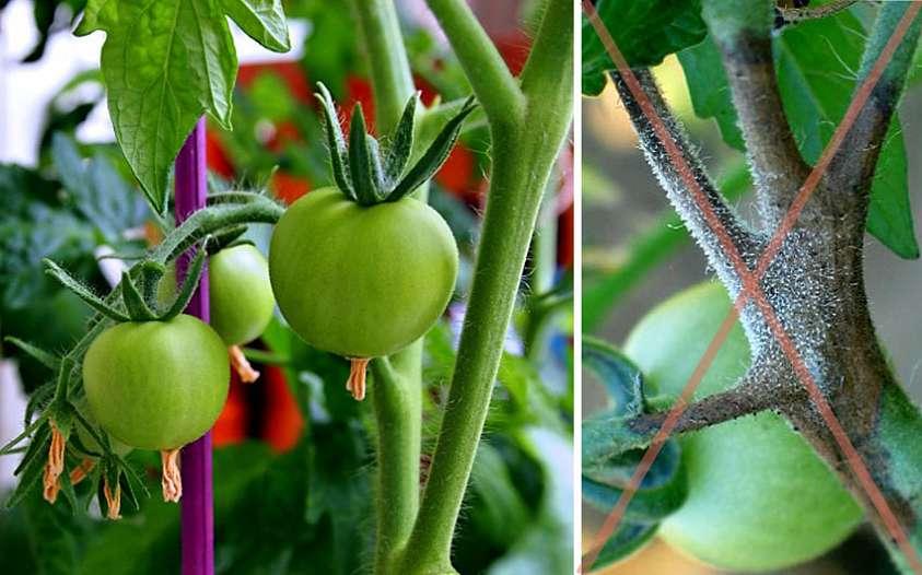 Медная проволока от фитофторы на помидорах: отзывы помогает ли протыкание, когда применять метод