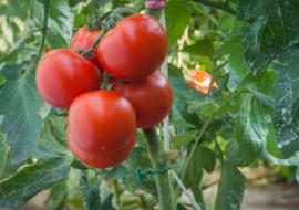 Гибрид томата «черри блосэм f1»: фото, отзывы, описание, характеристика, урожайность