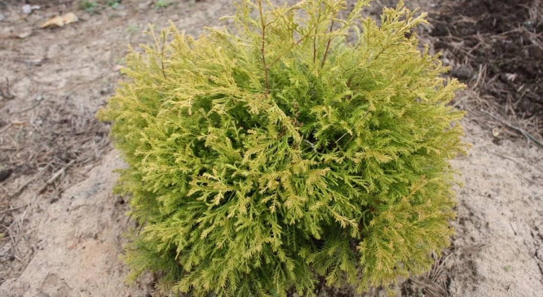 Хвойные растения : туя западная rheingold