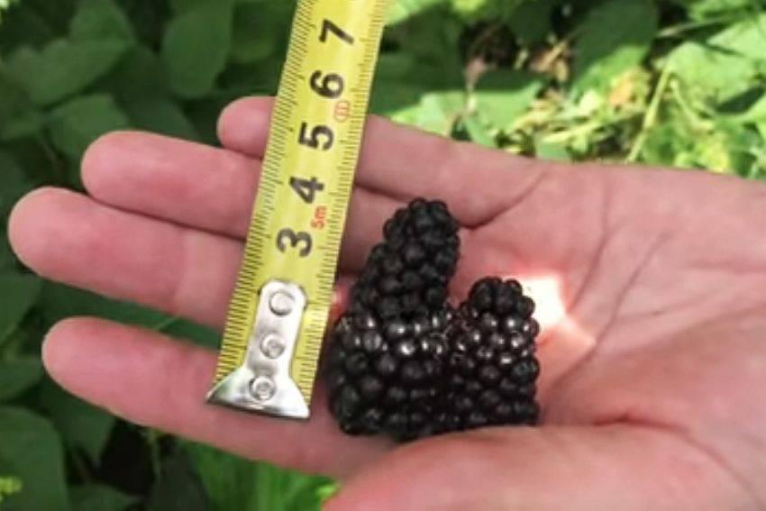 Характеристика и особенности выращивания ежевики блэк джем