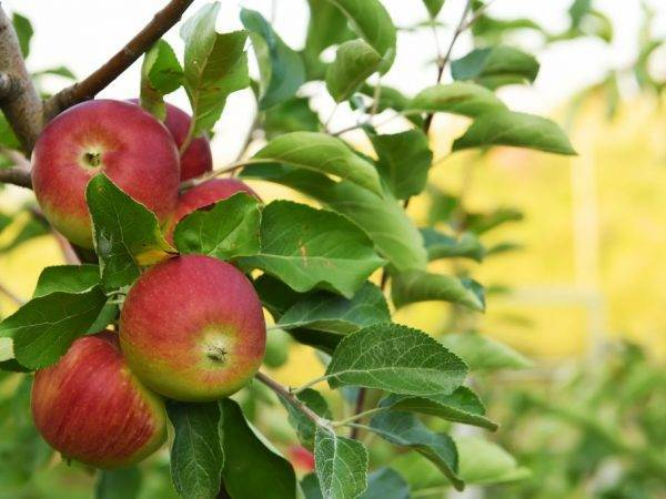 Яблоня подарок графскому: описание сорта, фото, отзывы, морозостойкость