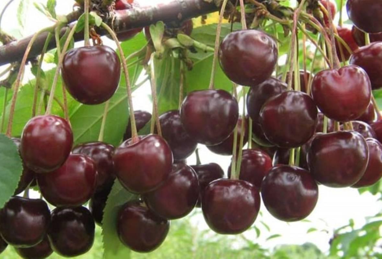 Крупноплодная и сладкая вишня шпанка, неприхотливая и устойчивая к болезням