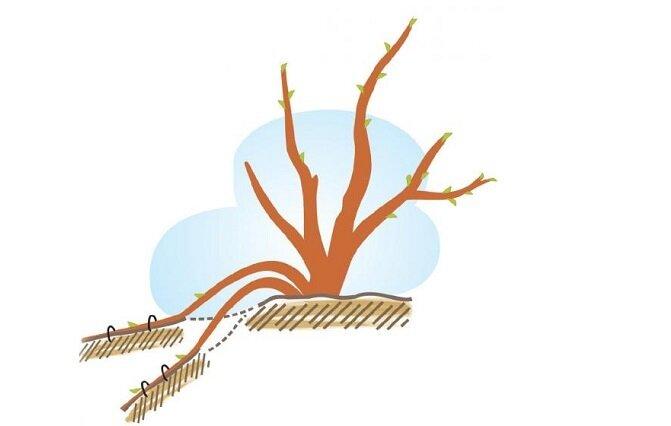 Сезонная подкормка жимолости: что использовать весной, летом и осенью