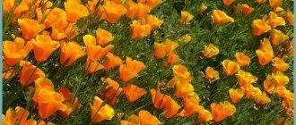 О древовидной гортензии хайес старберст (hayes starburst) — как сажать и ухаживать