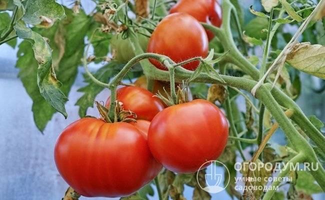 Все, что нужно знать про томат король сибири