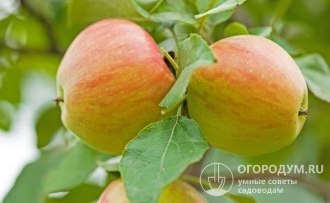 Абрикос царский: описание морозоустойчивого сорта и правила выращивания для хорошего урожая