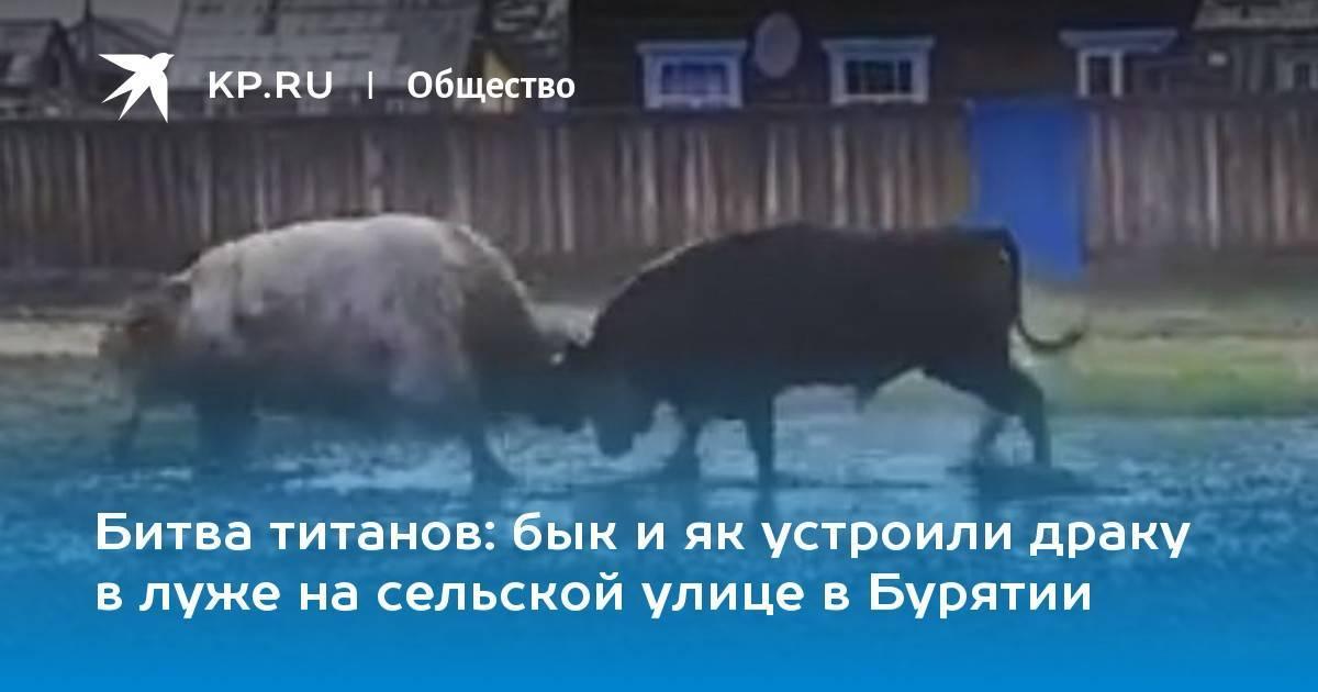 Вздутие живота у быка — как помочь животному?