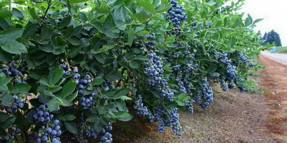 Голубика шантеклер и другие урожайные сорта