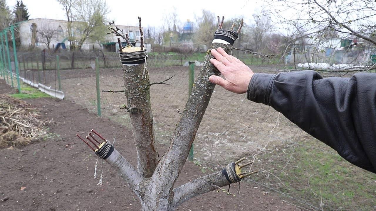 Как привить сливу весной: пошагово