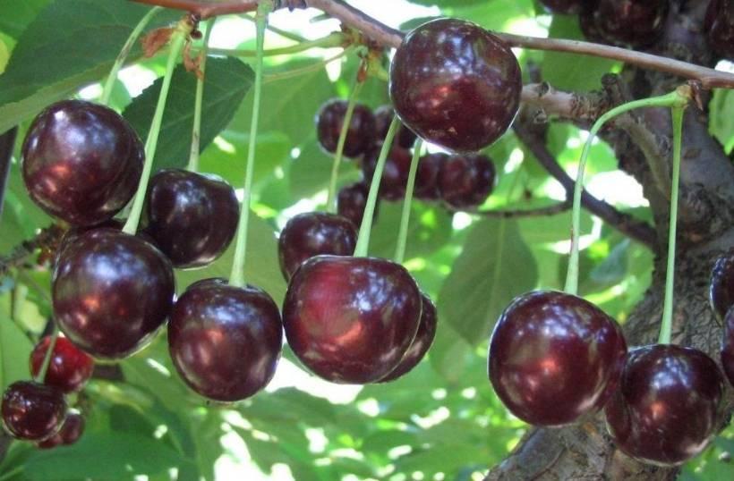 Бакчарская юбилейная - жимолость - плодово-ягодные - фотоальбомы - mama's hobby