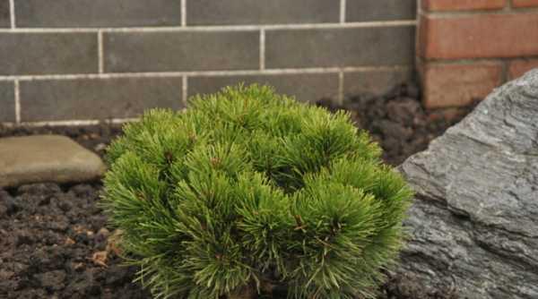 Сорта карликовых сосен