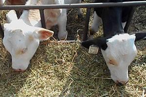 Клостридиозы свиней: clostridium perfringensтипа a