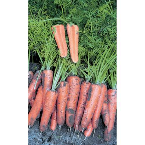 Морковь наполи f1 — описание сорта, фото, отзывы, посадка и уход