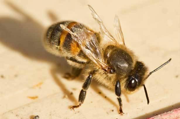 Акарапидоз пчел: лечение лозевалем и апифитом