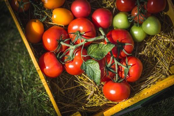 Вкуснейшие помидоры для сибири в теплице: лучшие сорта