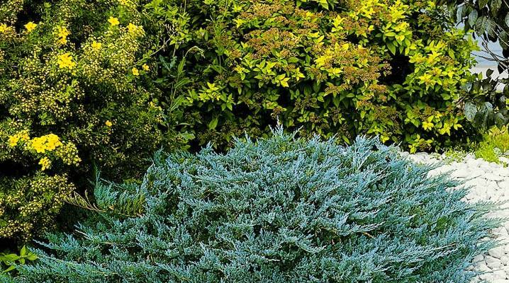 Можжевельник голден карпет — золотистые краски в вашем саду