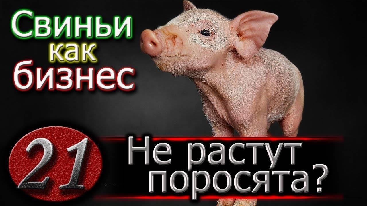 Что делать, если свинья не встает на ноги, причины проблемы и методы лечения