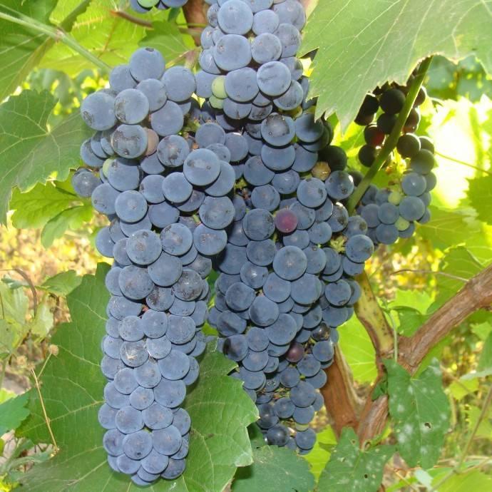 Виноград амурский: разновидности сорта, правила посадки и ухода