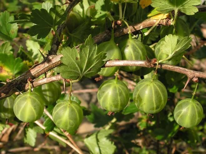 Крыжовник малахит: описание, выращивание
