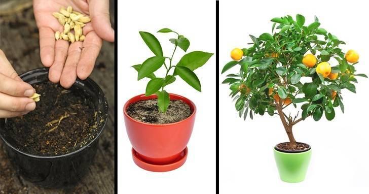 Выращивание вишни из косточки: в домашних условиях и в открытом грунте