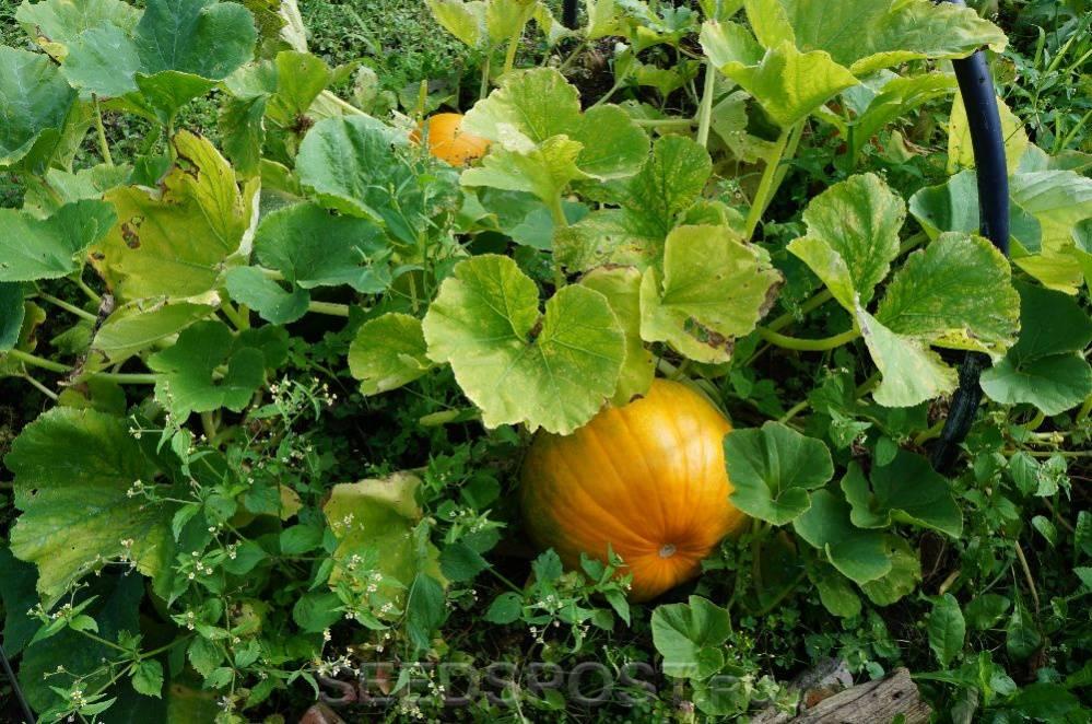 Выращивание и уход за кустовой тыквой