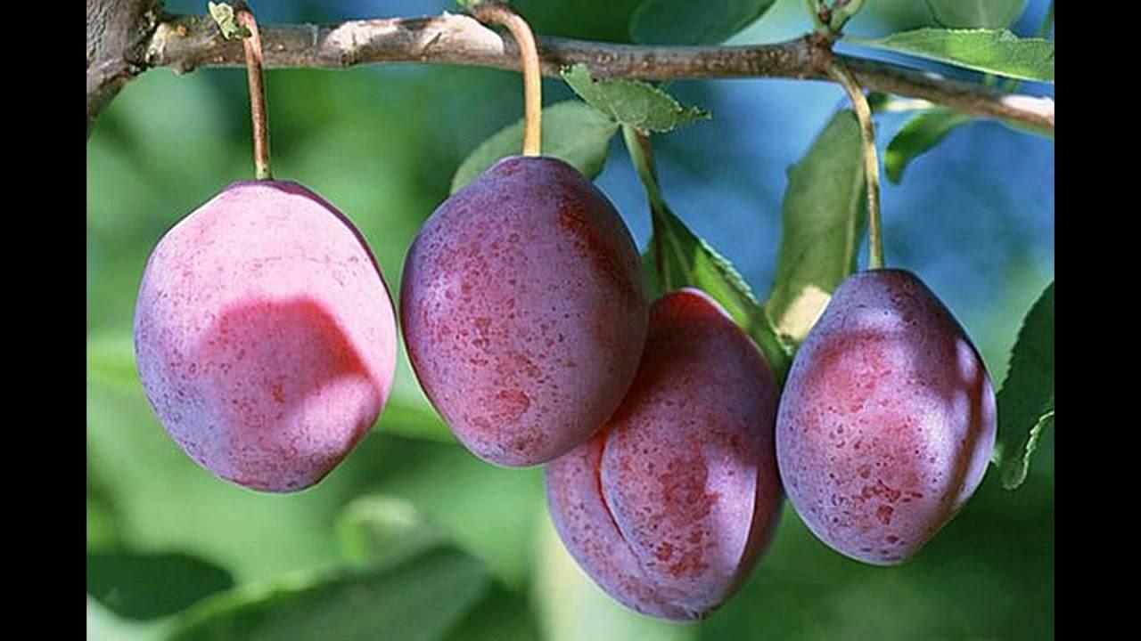 Что нужно знать о выращивании сорта сливы конфетная
