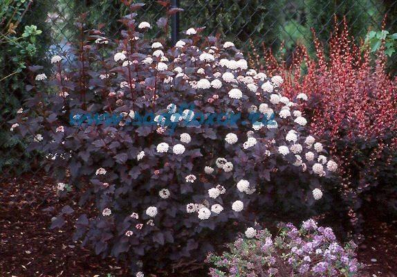 Пузыреплодник калинолистный – особенности посадки и ухода, фото