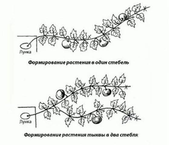 Формирование огурца, кабачка и тыквы. прищипывание