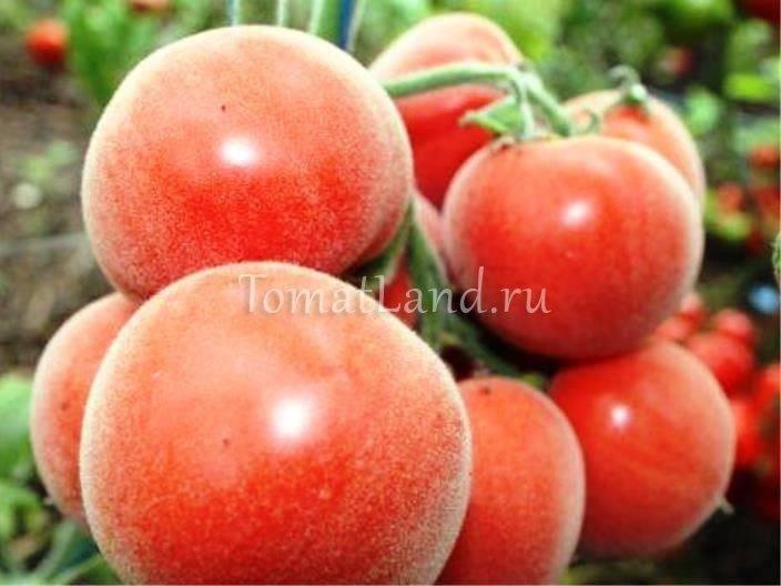 Томаты сорта персик: отзывы, фото