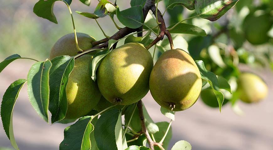 Как бороться с болезнями и вредителями груши