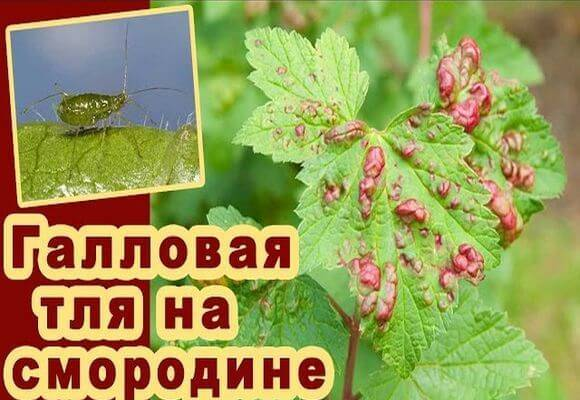 Болезни и вредители красной смородины. методы борьбы