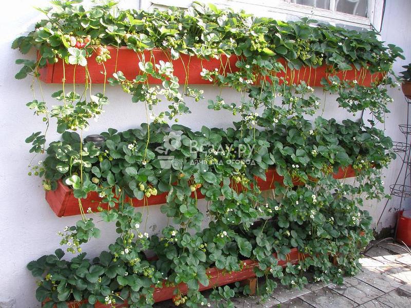 Сорта клубники, дающие урожай все лето
