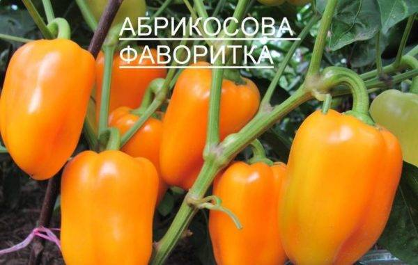 Сладкий перец: обзор ранних сортов для теплиц и открытого грунта