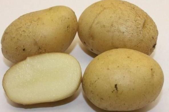 Картофель «вектор»: описание сорта, характеристики, фото картошки и уход