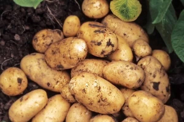 Картофель немецкий молли: описание и характеристика, правила выращивания, фото