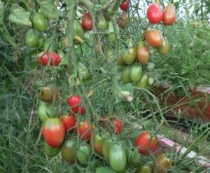 Сорт томатов «чио чио сан»: описание и характеристика, особенности выращивания и ухода