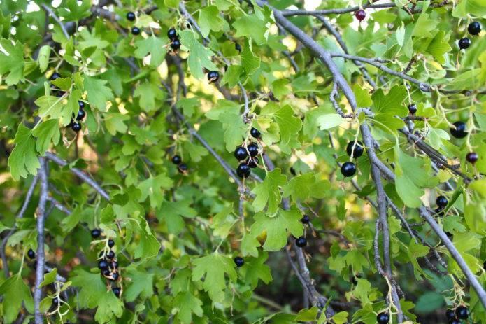 Смородина чёрная белорусская — особенности и характеристики