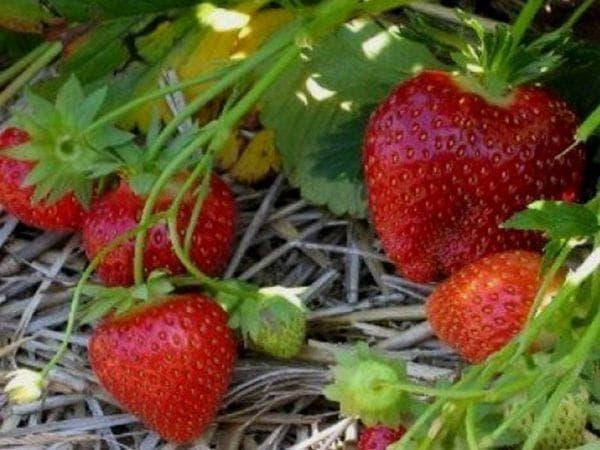 Особенности выращивания клубники сорта «мальвина»: посадка и уход