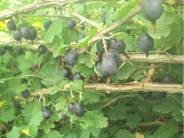 Крыжовник черный негус: описание, размножение, выращивание