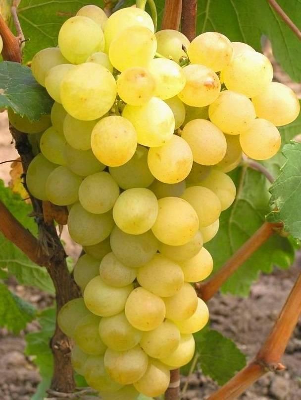Самый зимостойкий виноград «амурский потапенко»