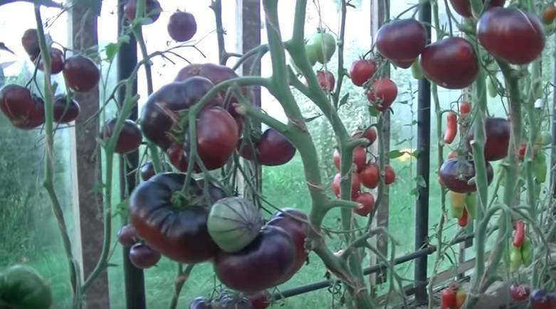Томат аметистовая драгоценность (amethyst jewel): характеристика и описание сорта, отзывы и фото урожайности помидоров из семян