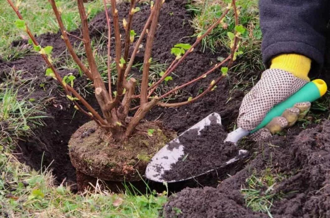 Как сажать смородину весной: пошаговая инструкция с фото для начинающих, советы