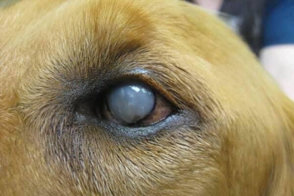 Бельмо на глазу у кошки: как лечить в домашних условиях