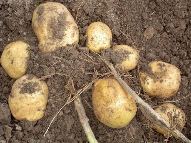 Как выращивать картофель под названием голубизна